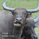 水牛角-SNK-Buffalo Horn-清熱藥-CYY-104028