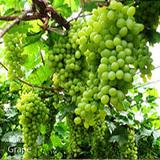 葡萄-PT-(TC提子)-Grape-生果-GLL-抗氧化-SGL-201059