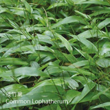 淡竹葉-DCY-Common Lophatherum-清熱藥-CYY-104009