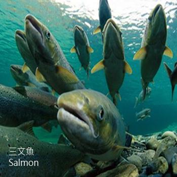 三文魚-SMY-(WY鮭魚)-Salmon-水產-舒緩壓力-SCL-202025