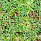 白花蛇舌草-BFSSC-Spreading Hedyotis Herb-清熱藥-CYY-104046
