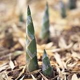 竹筍-CS-Bamboo Shoot-蔬菜-SCC-舒緩壓力-SGL-201007