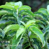 大青葉-DCY-Indigowoad Leaf-清熱藥-CYY-104020