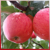PG-蘋果-Apple-生果-紅將軍-健康生果-SG-201004-001-D22
