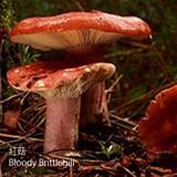 紅菇-HG-Bloody Brittlegill-蔬菜-SCC-菇菌類-KK-關節酸痛-SGL-201171