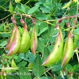 黃芪-WK-Milkvetch Root-補氣藥-BHM-115005